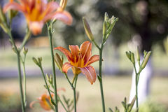 Flowers lily. Orange yellow lily flowers in late June Stock Photo
