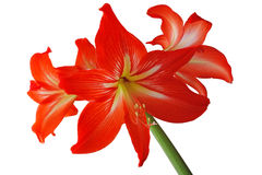 Flowers lily room Royalty Free Stock Image
