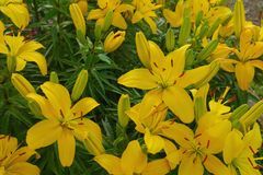Flowers lily summer yellow and orange flowers gard Royalty Free Stock Images