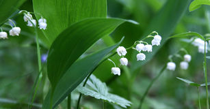 Flowers of lily of the valley Royalty Free Stock Photo