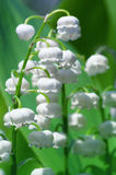 Flowers of lily of the valley Royalty Free Stock Images