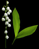 Flowers lily of the valley on black isolated background with clipping path.  No shadows. Closeup. Stock Photography