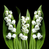 Flowers lily of the valley on the black isolated background with clipping path.  No shadows. Closeup. Royalty Free Stock Photography