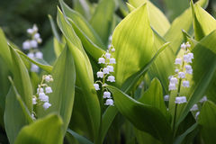 Flowers of Lily of the valley, Convallaria majalis Royalty Free Stock Images
