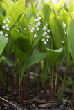 Flowers of Lily of the valley, Convallaria majalis Royalty Free Stock Photography
