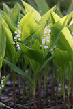 Flowers of Lily of the valley, Convallaria majalis Royalty Free Stock Image