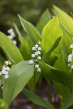 Flowers of Lily of the valley, Convallaria majalis Royalty Free Stock Photos
