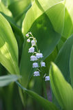 Flowers of Lily of the valley, Convallaria majalis Stock Image