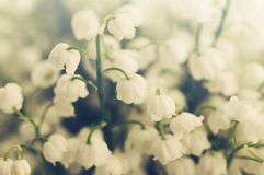 Flowers of a lily of the valley. Gentle spring background Royalty Free Stock Photography