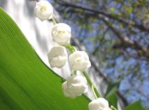Flowers lily of the valley Stock Image