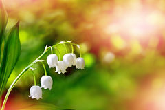Flowers lily of the valley Stock Photo