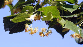 Flowers of lime tree, flowers on a tree in summer Stock Image