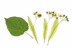 Flowers of the lime tree (Tilia). With one leaf against a white background stock photos