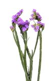 Flowers limonium sinuatum. Limonium sinuatum flowers to white background Stock Photography