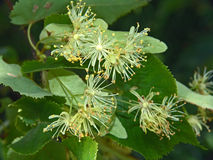 Flowers of a linden. Stock Photos