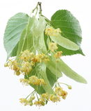 Flowers of linden-tree royalty free stock photos