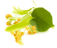 Flowers of linden-tree Stock Photography