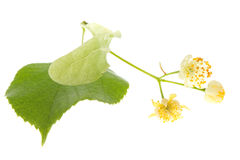 Flowers of linden tree Stock Images