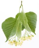 Flowers of linden-tree Royalty Free Stock Images