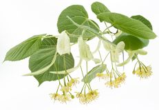 Flowers of linden-tree stock image