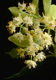 Flowers of linden tree Royalty Free Stock Photo