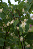 Flowers of linden tree Royalty Free Stock Images