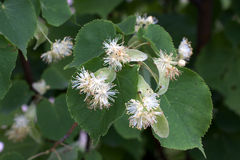 Flowers of linden tree Stock Photos