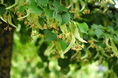 Flowers of a linden tree royalty free stock photo