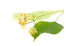 Flowers of linden tree. Isolated on white Stock Images