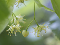 Flowers of the linden tree known as Lime Blossom. And used dried for a herbal tea or tincture with medicinal properties royalty free stock image