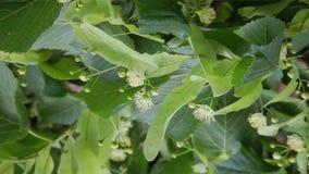 Flowers of linden tree. Linden tree in bloom. Lime tree tea. Linden tree blossom. Lime tree tea. Flowers of linden tree. Linden tree in bloom. Lime tree tea stock video