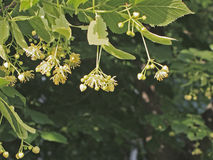 Flowers of linden-tree during a sunset.  stock image