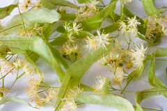 Flowers of linden tree Stock Photo