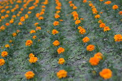 Flowers in lines (Tagetes patula). Orange flowers planted in lines in park garden - background Stock Photos