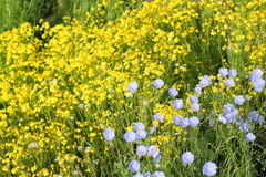 Flowers. A little blue and yellow wildflowers Stock Photography