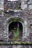 Flowers of Llanthony priory in Brecon Beacons Royalty Free Stock Photo