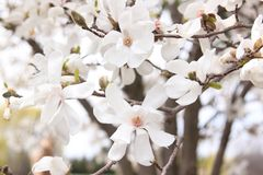 Flowers of the Loebner Magnolia  × loebneri 'Merrill' Royalty Free Stock Photo