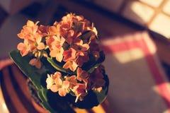 Flowers lof Kalancho Stock Image