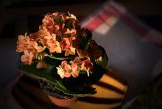 Flowers lof Kalanchoe Stock Photos