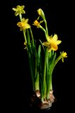 Flowers looking from darkness. Narcissus isolated on black background Royalty Free Stock Image