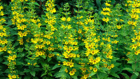 Flowers of loosestrife Stock Photos