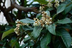 The flowers of loquat stock image