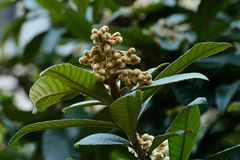 The flowers of loquat stock photography