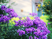 FLOWERS. Lot bright purple flowers growing Stock Images