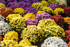 Flowers. Lots of colorful flowers. Purple, yellow, red, pink and other Stock Photos