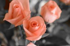 Flowers. Love roses women spring Stock Images