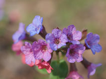 Flowers of lungwort. Royalty Free Stock Image