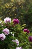 Flowers on Luoyang peony bush. Pink and purple flowers on Luoyang peony bush in sunny garden royalty free stock photos