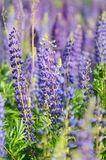 Flowers lupin in the field Stock Image