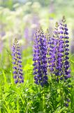 Flowers lupin in the field closeup Stock Photography